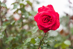 Red rose flower on branch with drops of dew in garden Stock Photo