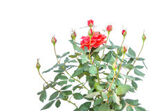 Red rose flower on branch and leaf isolated on white Stock Photo