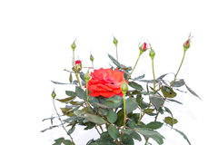 Red rose flower on branch and leaf isolated on white Royalty Free Stock Photo