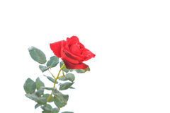 Red rose flower on branch and leaf isolated on white Royalty Free Stock Image