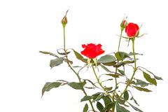 Red rose flower on branch and leaf isolated on white Stock Images