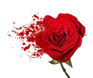 Red rose flower breaks up on particles. On white background stock images