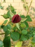 Red Rose Flower bud. Early bloom of the red rose flower Royalty Free Stock Photos