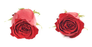 Red rose flower bud isolated Stock Photo