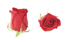 Red rose flower bud isolated Royalty Free Stock Photos
