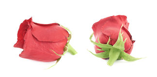 Red rose flower bud isolated Stock Photography