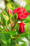 Red rose flower bud Stock Images