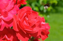 Red rose flower with buds on a background of a green bush. Flower background Royalty Free Stock Photo