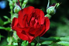 Red rose flower and buds blooming on bush, dark green leaves background, close up. Detail royalty free stock photos