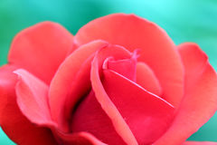 Red rose flower Royalty Free Stock Images