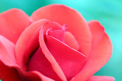 Red rose flower Stock Image