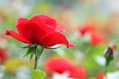 Red rose flower. Close up Royalty Free Stock Images