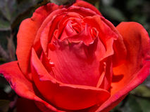Red rose flower. Close up red rose flower Royalty Free Stock Images