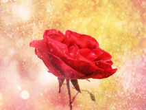 Red rose flower close-up on a gold background Royalty Free Stock Photography
