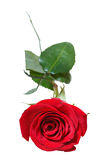 Red rose flower close up isolated on white Royalty Free Stock Image