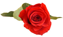 Red rose flower, close up, isolated, white background cutout Stock Images