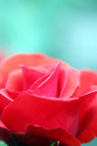 Red rose flower close up Stock Photography