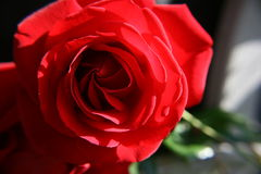 Red Rose Flower Closeup stock images