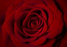Red rose photographed from above. Red rose flower detail with velvety petals photographed from above stock photo