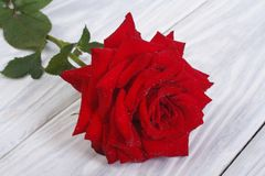 Red rose flower with dew drops on the table Stock Images
