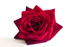Red rose flower Royalty Free Stock Photo
