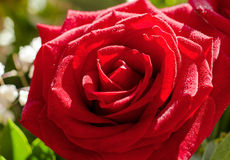 Red rose flower with drops Royalty Free Stock Images