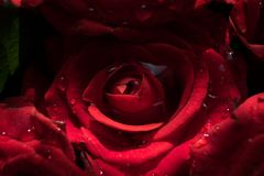 Red rose flower in drops of morning dew. Bouquet of flowers red roses in drops of water in the morning Petals of a red rose Stock Image
