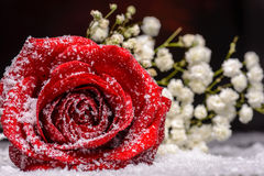 Red rose flower in fake snow Stock Photos