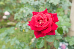 Red rose. Flower in farm Royalty Free Stock Photography