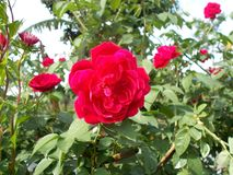 Red rose flower. S at the tree Stock Photos