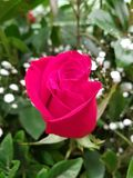 Red rose flower and foliage for gift of love. Nature and botany, decorative plant for gardens, natural flower with petals and colors stock photos