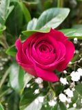 Red Rose flower and foliage for gift of love. Used in flower arrangements, flower petals of colours, botany and decoration for gardens, flora and nature stock image