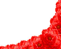 Red rose flower frame. The red rose flower frame on white background Royalty Free Stock Photo