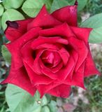Rosey red. Red Rose flower in full bloom royalty free stock photography