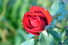 Red Rose Flower. In garden Royalty Free Stock Photo