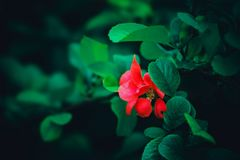 Red rose flower. In garden Royalty Free Stock Images