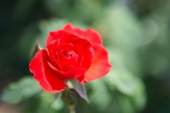 Red rose flower. In garden royalty free stock photography