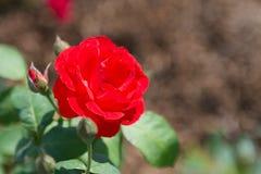 Red rose flower. In garden stock photo