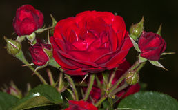 Red rose flower. Red flower in the garden Royalty Free Stock Photo