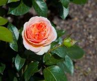 Red rose flower. Red flower in the garden Stock Photo