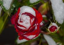 Red rose flower. Red flower in the garden Stock Photos