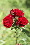 Red rose flower in the garden. Close-up Stock Photography