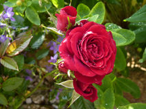 Red Rose Flower  in Garden Covered by Water Drops Royalty Free Stock Photo