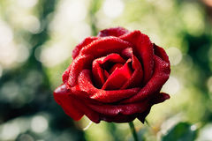 Red rose flower in the garden. Stock Photos
