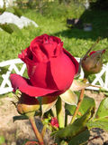 Red rose in a flower garden. Royalty Free Stock Photos