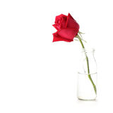 Red rose flower in glass vase. On white background Stock Images