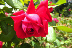 Red rose flower. On the green bush, beautiful flowers in blossom. Flower garden Stock Photos