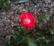 Red rose flower on green foliage Royalty Free Stock Image
