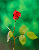Red rose flower, green light bokeh background, close up Royalty Free Stock Photography