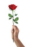 Red rose flower in hand men Royalty Free Stock Image